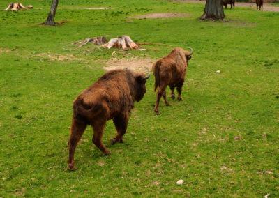 Białowieża - żubry